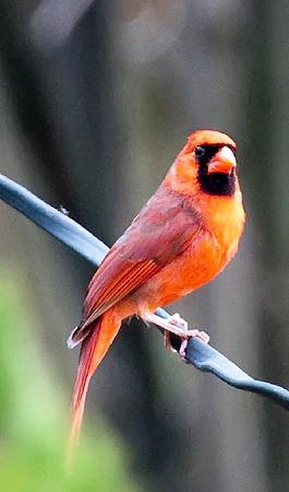 Male Cardinal A Distance Away