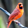 Male Cardinal A Distance Away