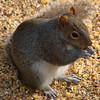 Squirrel enjoying sunflower seeds on the ground