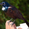 Grackleicious