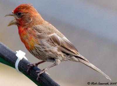 Finch Being Heard