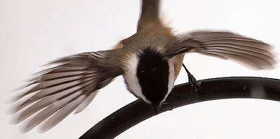 Chickadee Ready To Fly