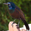 Grackle in the Sun