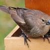 This Bird Accompanied the Cowbird