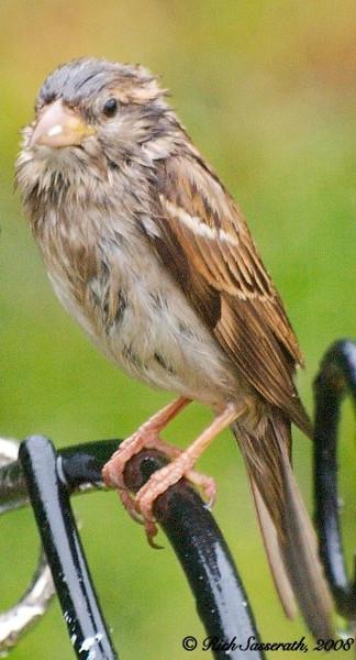 Damp Sparrow