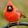 Full Frontal Cardinal