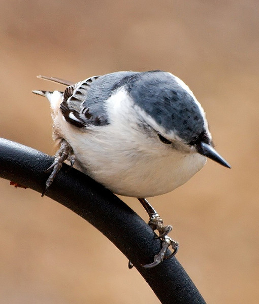 Nuthatch on Pole