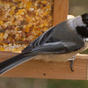 Chickadee on perch