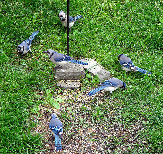 Monkey In The Middle (Bluejay Style)