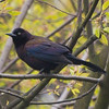 Common Grackle Up in a Tree