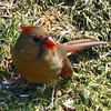 Mrs. Cardinal in the Grass