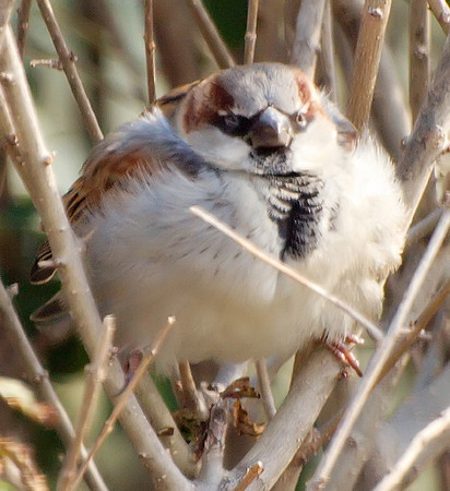 Fluffed Up For the Winter