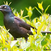 Grackle in Bushes
