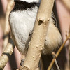 Chickadee in Bushes