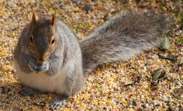 Squirrel eating more sunflower seeds