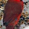 Cardinals taken with S3 IS
