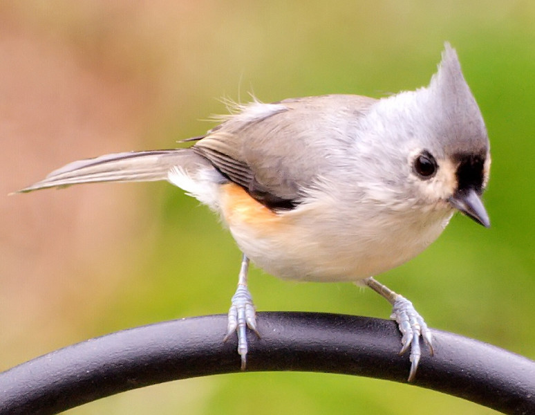 Return of the Tufted Titmouse