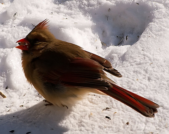 Female Cardinal With Seed