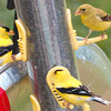 American Goldfinches-2 Males & 1 Female