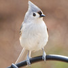 Tufted Titmouse on Top of Feeder
