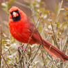 Cardinal Sees Me
