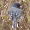 Junco in Bushes