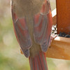 Female Cardinal on Feeder