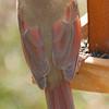 Female Cardinal on Feeder