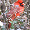 Male Cardinal in Bush