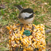 Chickadee on squirrels' food