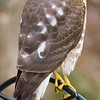 A Cooper's Hawk visiting my bird feeder
