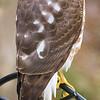 Hawk on our bird feeder