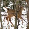 Deer in Motion