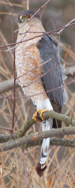 Hawk two yards (as in neighbors) over