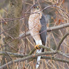 Cooper's Hawk <br /> I have it under good advice that this is a Mature Female Cooper's Hawk.