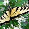 Butterfly in Back Yard