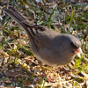 Junco in Grass