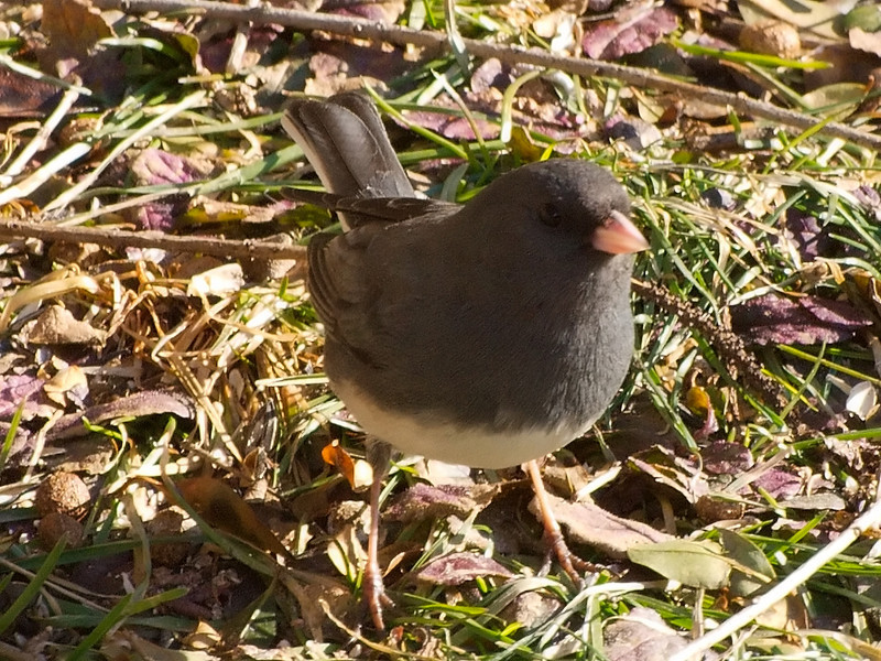 Junco Searching For Seed