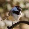 Chickadee On Top Of Old Feeder