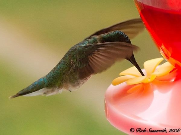 Greenie - the 'Other' Hummingbird