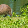 Capybara (baby)