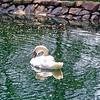 lv03 <br /> Swan