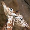 Criss-Crossing Giraffes @ Philly Zoo