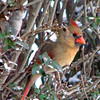 Female Cardinal in the Bushes