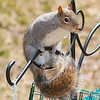 olga_d_squirrel04 <br /> ...and I thought my feeder was 'squirrel-proof.'