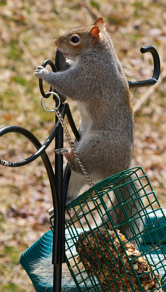 olga_d_squirrel09 <br /> Quite limber and very resourceful.