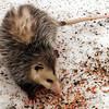 Opossum (Possum)