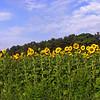 sunflower006b