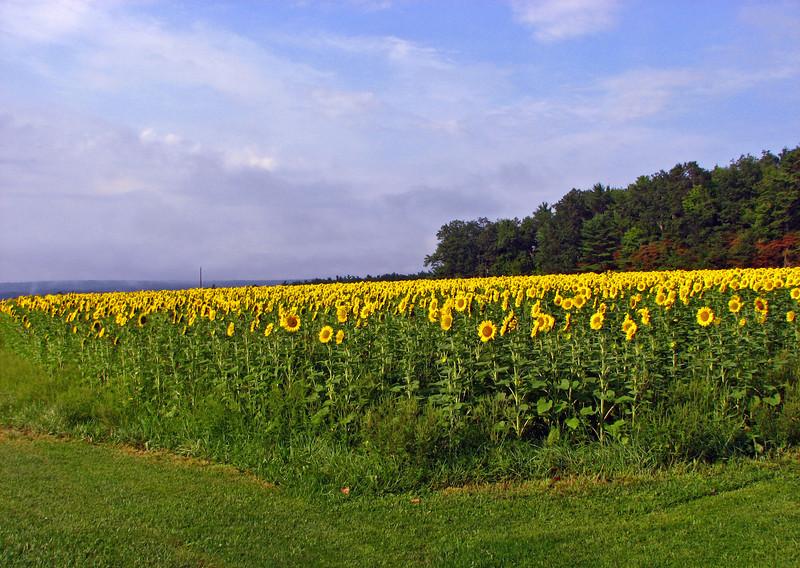 sunflower004b