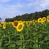 sunflower011b